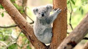 7) Koala