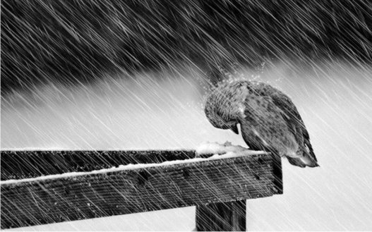 436905__little-bird-in-the-storm_p